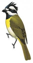 Western Shrike-tit