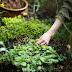 Planning The Garden For Summer Iced Green Tea Enjoyment
