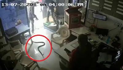 Ular kobra dilepaskan di kantor SPBU