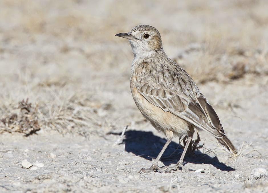 african birds lark