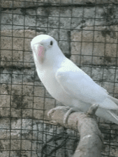 Albino mata merah
