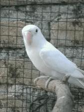 harga burung love bird 2020