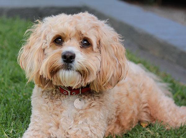 Cavoodle dog