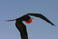 Great frigatebird male in flight, with inflated gularsac - Galapagos Islands, Mar. 30, 2012, photo by Charles. J. Sharp