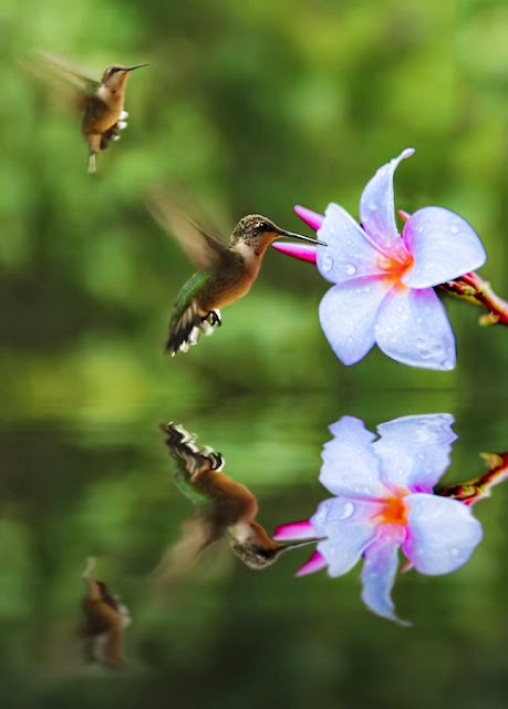 Hummingbirds in food racing competition
