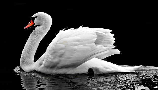 طيور لصورة وزة جميلة