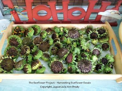 Final Sunflower Heads of Summer for Harvesting Seeds
