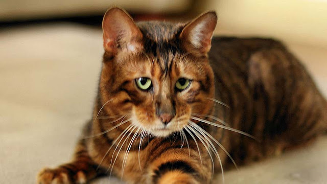 Jenis ras kucing terpopuler
