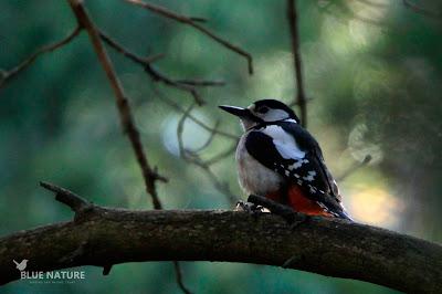 Pico picapinos (Dendrocopos major) hembra sobre una rama.
