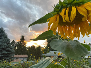 Sunflower with Sunset