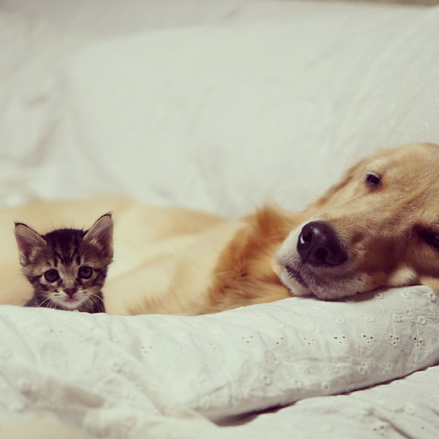 http://nedhardy.com/2015/09/30/this-golden-retriever-adopted-a-orphaned-kitten-that-was-rejected-by-its-mother/