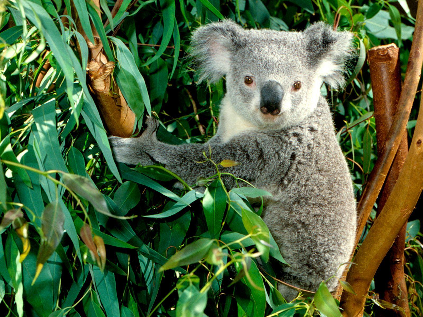 ANIMAL WORLD: Koala Fact's / Info And Beautiful Photos