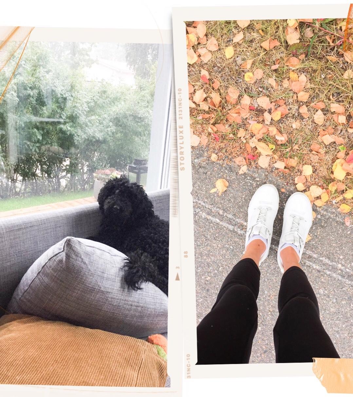 mini-poodle-dog-autumn-leaves-minipuudeli-villakoira-syksy-lehdet-ruska