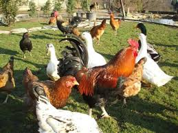 Kümes Hayvanları Yetiştiriciliği iş imkanları