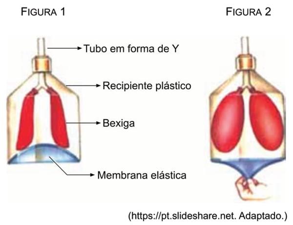 """UNESP 2021: Para simular o sistema respiratório humano, um aparato com duas bexigas representando os pulmões, uma membrana elástica representando o músculo diafragma e um tubo flexível em forma de """"Y"""", representando a traqueia e os brônquios, foi montado dentro de um recipiente plástico que representava a caixa torácica."""
