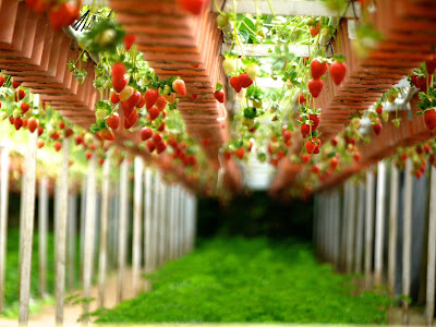 Φράουλα: σπορά φύτεμα καλλιέργεια