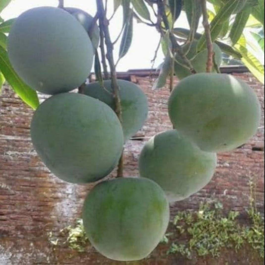 Bibit buah mangga kelapa Bangka Belitung