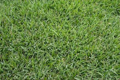Empire zoysia grass Maintenance, Seed, Problems, Reviews