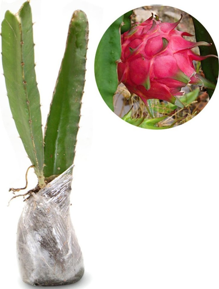 Buah Naga Daging Merah Bangka Belitung