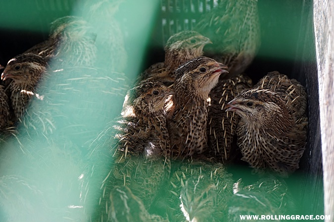 japanese quails for sale