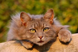 Cara Menjinakan Kucing Anggora yang Galak