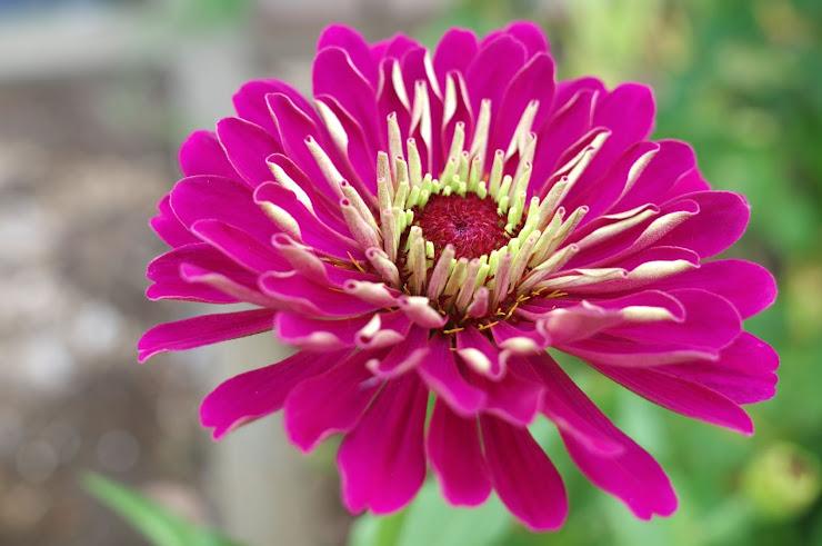 メキシコ原産の紫色のヒャクニチソウ