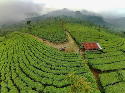 kebun teh medini kendal