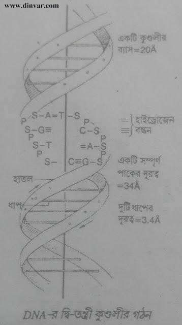 DNA গঠন