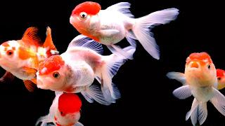 Red Cap Oranda Goldfish 4K HD Wallpaper