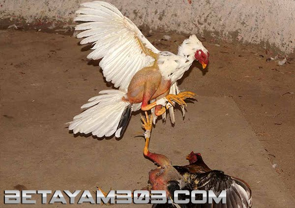 Sabung Ayam Kolombia, Colombian Cock Fight, S128