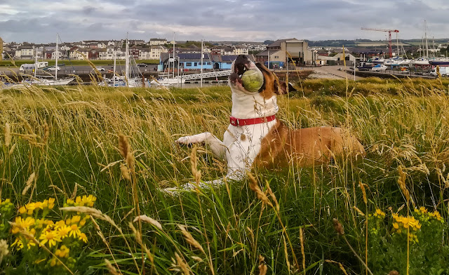 Another shot of Ruby with her ball with Maryport Marina in the background