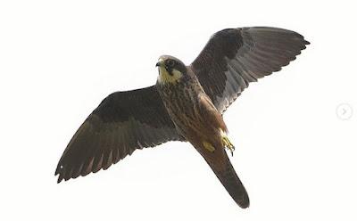 Falcó de la reina (Falco eleonorae)