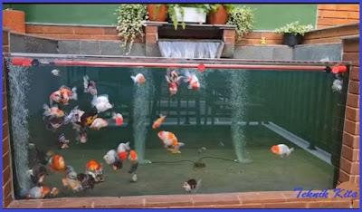 desain aquarium ikan mas koki