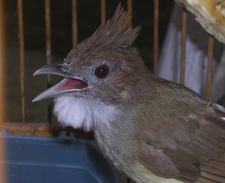 Burung Cucak Jenggot - Burung Cucak Jenggot Menjadi Andalan - Penangkaran Burung Cucak Jenggot
