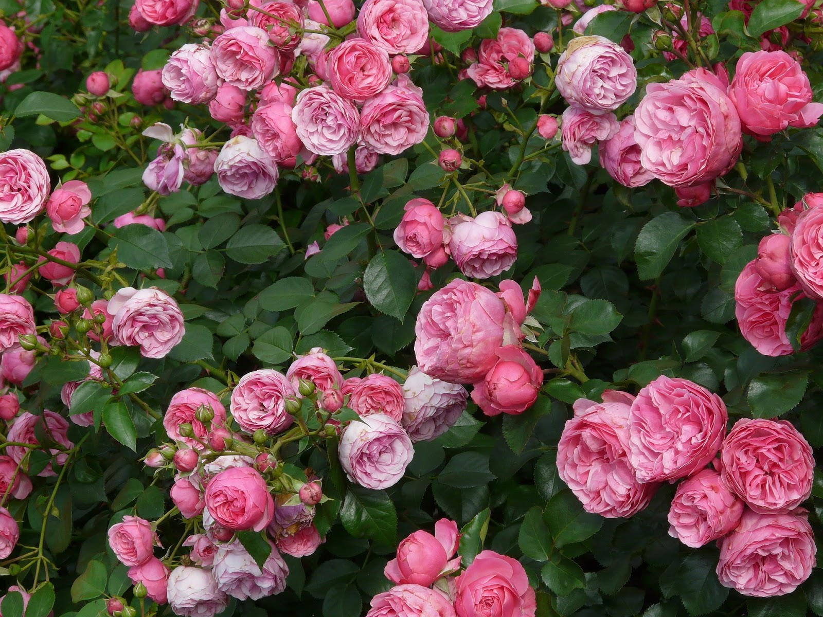 Roseiras Como Manter um Jardim de Rosas