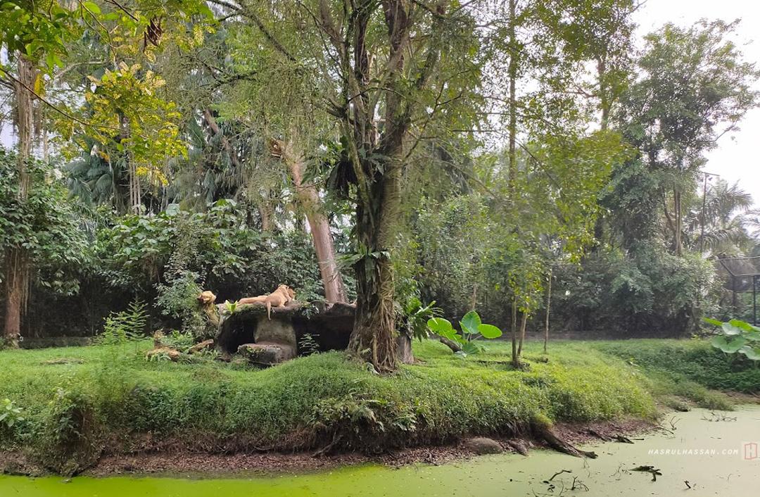 Singa Afrika di Zoo Taiping
