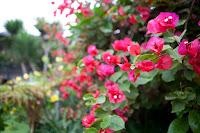 Caramudah Merawat Dan Menanam Bunga Bugenvil Agar Berbunga Lebat