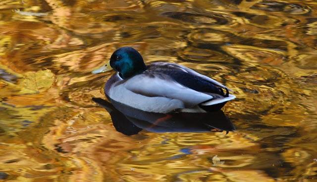 Помимо лебедей в пруду Стрыйского парка поселились утки. Даже не знаю они декоративные или кто-то занялся разведением на мясо