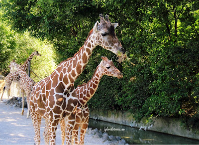 The Memphis Zoo Review - Giraffes Photo By Cynthia Sylvestermouse