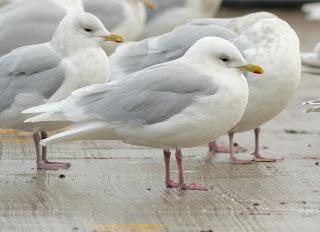 very white-wnged Kumliens Gull