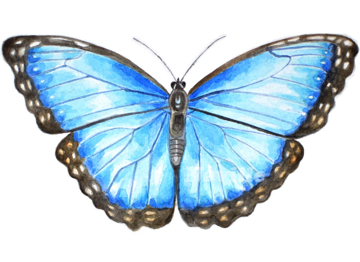 Blue Morpho Butterfly Watercolour Illustration