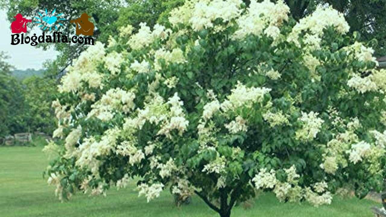 Pohon Lilac Jepang (Syringa reticulata)