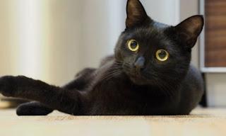 Arti Mimpi Digigit Kucing Hitam