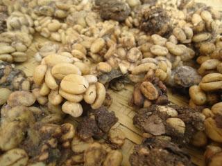 gambar kopi luwak