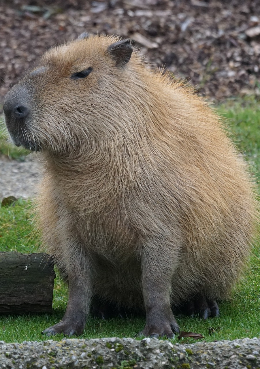 Picture of a capybara.