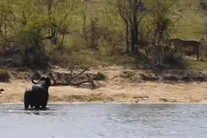 Pilihan Sulit Kerbau Liar, Di Sungai Ada Buaya ke Darat Ada Kawanan Singa