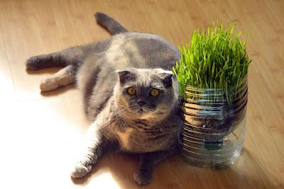 Kamu Harus Tau Ternyata Ini Ciri-ciri Kucing Scottish Fold Dan Harganya