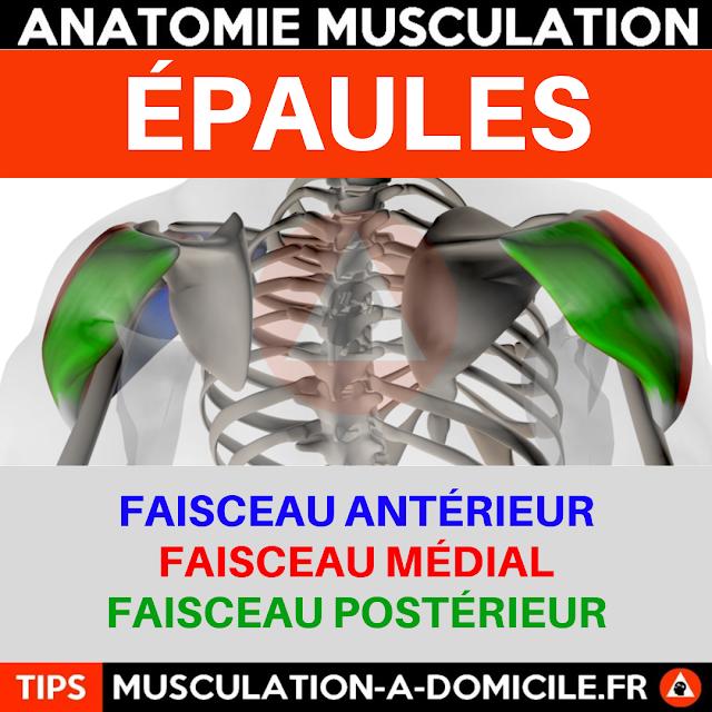 musculation à domicile anatomie des muscles delltoides épaules vue de dos
