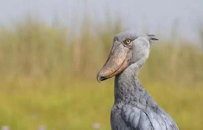 9 Burung Aneh Di Dunia, Bikin Geli Lihatnya!