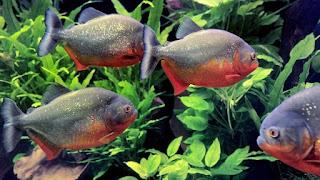 Jenis dan Harga RBP ( Red Belly Piranha )